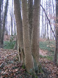 Baum Vierling